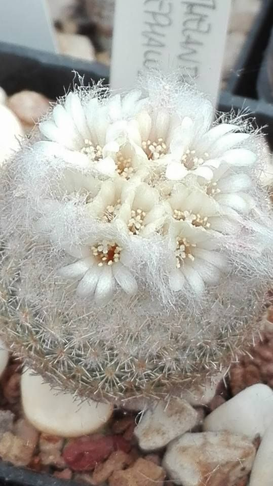"Button Cactus.   (""Epythelantha pholicepala."")     From Chrome research:  ""Epithelantha micromeris is a Button Cactus in the genus Epithelantha. It is characterized by its white-grey spines growing on a globular shaped stem and is native to northeastern Mexico, and in an area from western Texas to Arizona. Wikipedia."""