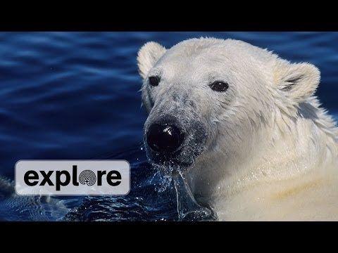 How Do Polar Bears Keep Warm? - YouTube