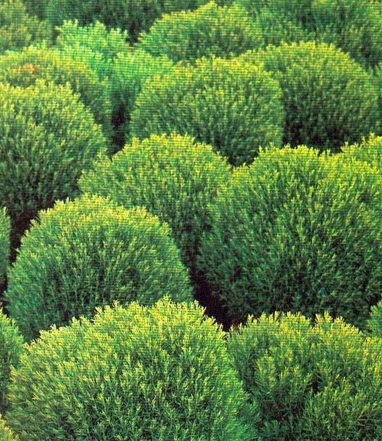 Teddy cedar 30cm h x 60cm w cute small globe shaped for Small slow growing evergreen trees