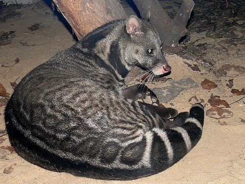 The Malabar large-spotted Civet - Critically Endangered
