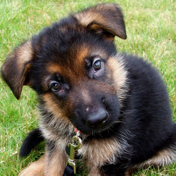Dog Jerman   World of Animal