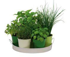 Proč stále chodit do obchodu pro čerstvé bylinky, když si je můžete vypěstovat sami, a navíc v lepší kvalitě? Není to složité – nakupte vitální a vzrůstnější sazenice a pusťte se do toho.