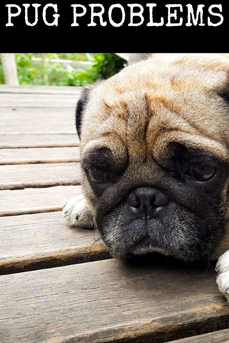 Find Out About The Common Pug Problems We Look At The Different