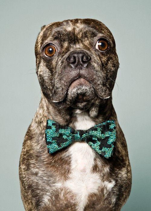BRUISER!!   Pets!!!   Pinterest   Boston terrier pug, Pug ...