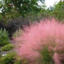 Muhley Grass - tidy clumps of fine blue foliage that explode into airy pinkish blooms in late summer.  Stunning and drought tolerant.