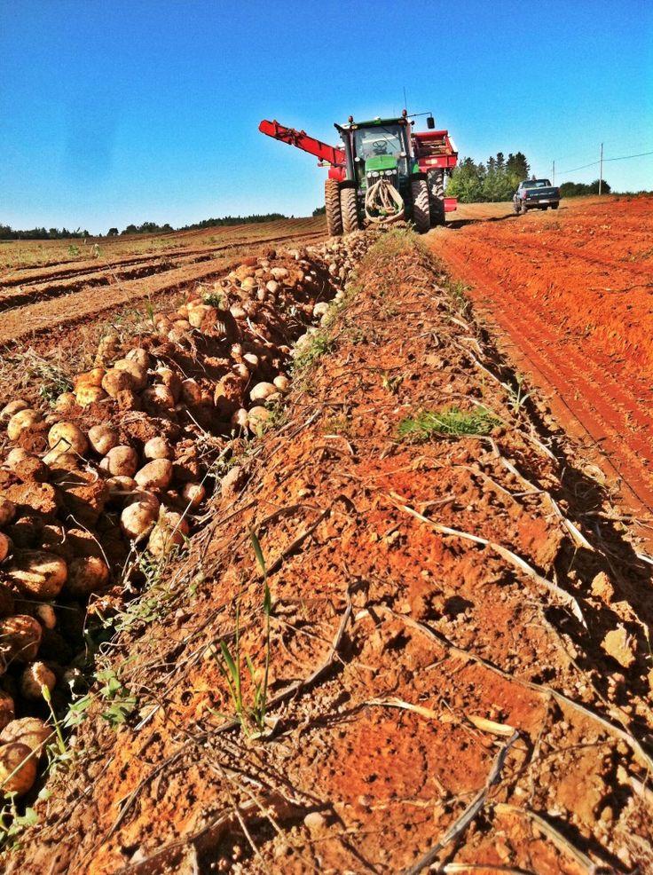 Potato harvest on Prince Edward Island