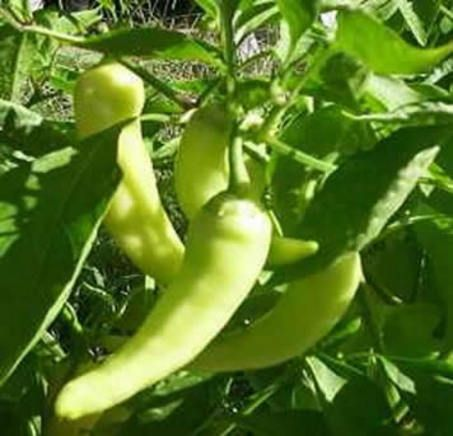 1 Sweet Banana Pepper May 11th.