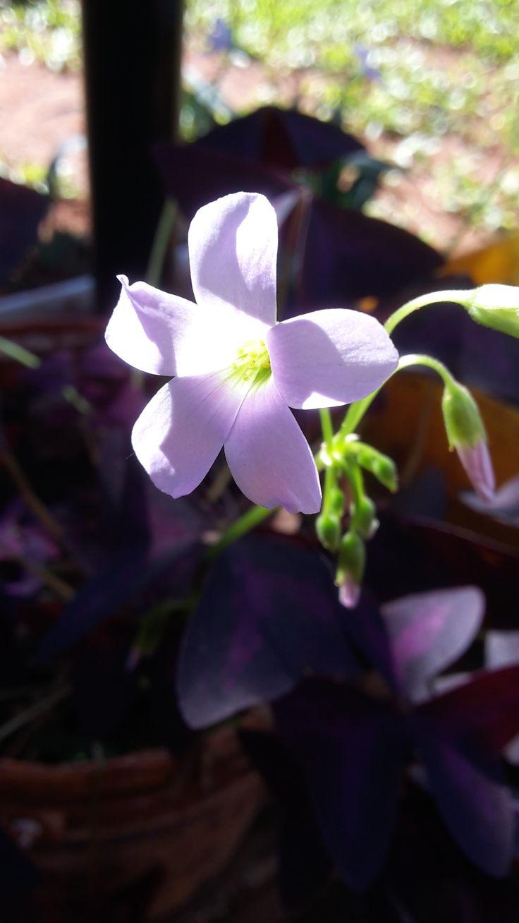 Flor de trébol púrpura