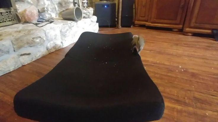 Ferb loves to play fight #aww #Cutesquirrels #squirrel #boopthesnoot #cuddle #fluffy #animals #aww #socute #derp #cute #bestfriend #itssofluffy #rodents #squirrelsofpinterest