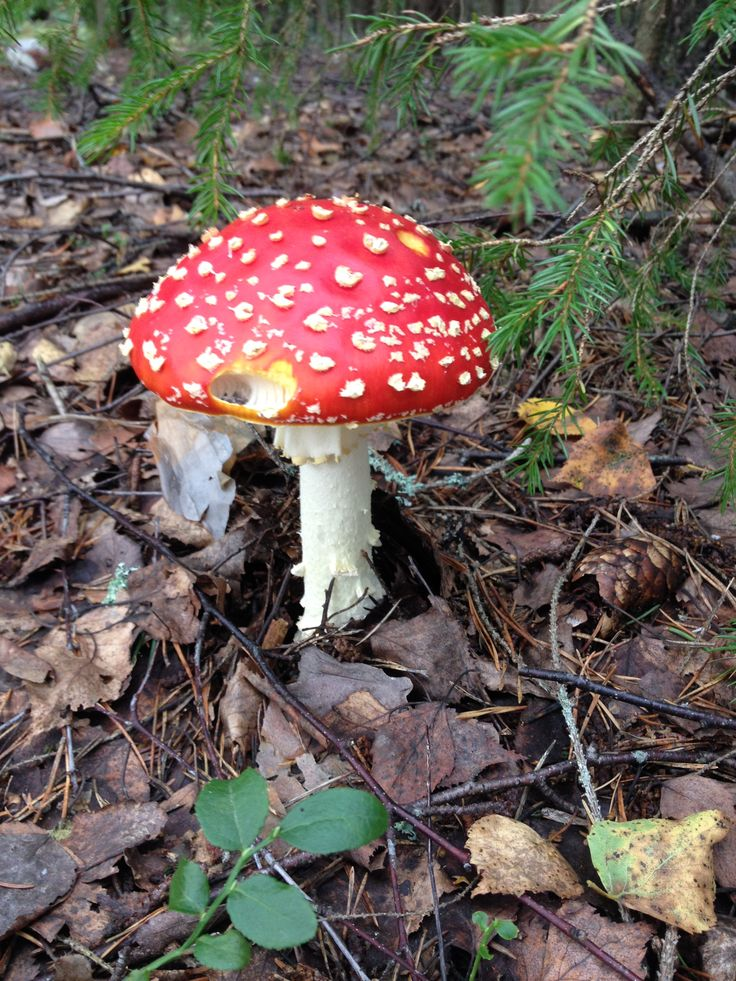 Kärpässieni. Fly agaric in a Finnish forest.