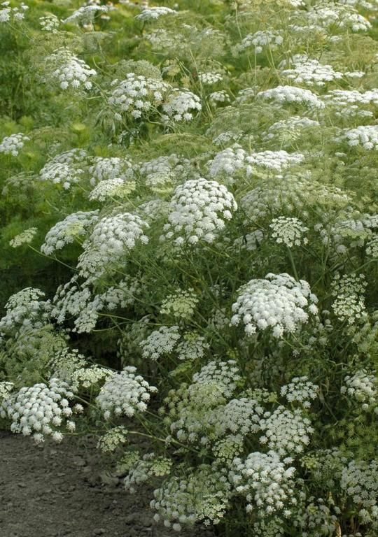 Ammi majus 'Snowflake' Bishop's Flower