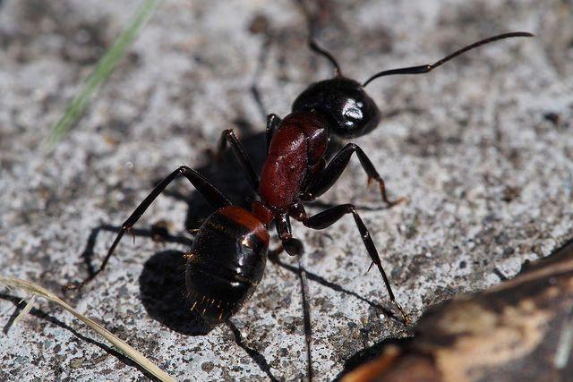 蟻の種類 家に出てくる蟻 大きい 噛む蟻 羽のある蟻 駆除についての