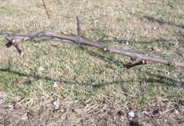 Growing grapes - planting and care of grape vines.  How where and when to plant, as well   as pruning, propagation and harvesting of these versatile vines.
