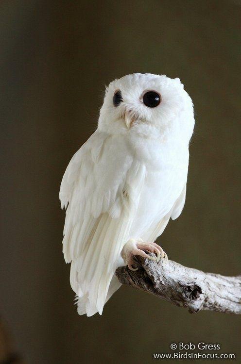 Cotton, the albino Eastern Screech Owl.