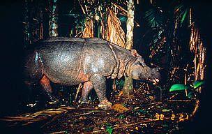 WWF España - WWF lamenta la extinción de una de las dos últimas poblaciones de rinoceronte de Java