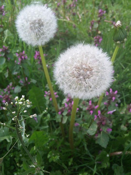 Πικραλίδα, Πικραλίδες, Καλοκαίρι, Φυτό, Κάτω