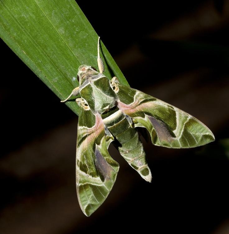 Google Image Result for http://srinivasen.com/blog/wp-content/uploads/Moth-2566F-Web.jpg: Animals Insects Birds Reptiles,  Mantid, Bugs Butterflies Moths Etc, Bing Images, Sphinx Moth, Bugs Butterflies Moth Etc, Mantis, Dragonfly, Beautiful Moth