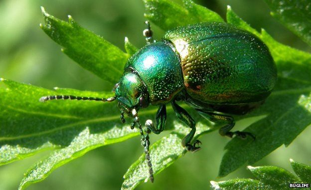 "Tansy beetle sighted in Cambridgeshire Fens for first time in 40 years The tansy beetle was last recorded at Woodwalton Fen in 1973 A critically endangered beetle has been spotted in Cambridgeshire for the first time in more than 40 years. The 9mm (0.35in) iridescent tansy beetle was found during a ditch survey at the Woodwalton Fen National Nature Reserve, near Huntingdon. Dr Peter Kirby, who found the beetle, said its first appearance in the county since 1973 was ""quite the mystery""."