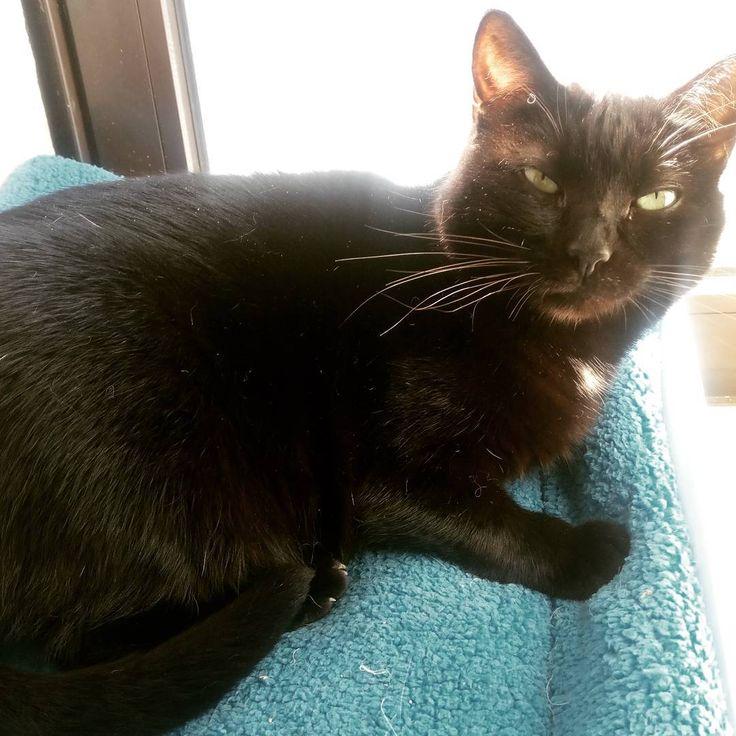 Petra ao Sol Petra sunbathing #instacats #blackcats #black #catsunbath