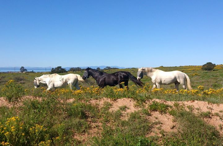 FLOWER HORSES - These horses looked like they were in paradise, enjoying this green field full of flowers!  #sthelenabay #westcoast #horses