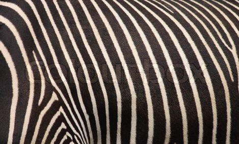 Beautiful stripes of a zebra