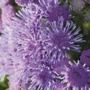 Семена цветов | Kitano Seeds