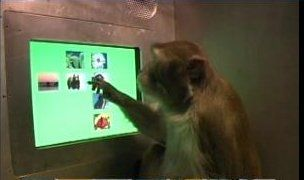 Rhesus macaque put to the test - Monkeys Have Meta-Cognition! - Softpedia