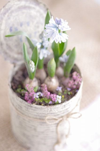 Spring Equinox:  Spring in a can! Plant hyacinth bulbs, and grow indoors, for the Spring Equinox.