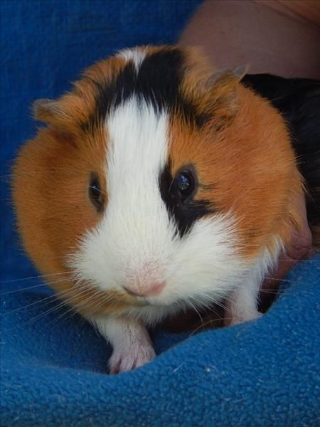 Cute little Jessie is looking for a new home. #Guineapigs are great family pets! They are social and low maintenance and enjoy an array of fresh fruit and vegies in a secure enclosure. Can you offer sweet Jessie a new furever home? Pop in and meet him at our #Bundaberg #RSPCA Animal Care Centre (ID 802747) #adoptapet #rspcaqld #pocketpet #rspcapet #adoptdontshop #rescuepet