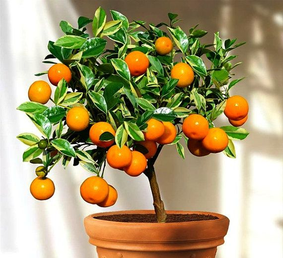 calamondin seeds citrus mitis miniature citrus tangy fruit fragrant blooms showy houseplant. Black Bedroom Furniture Sets. Home Design Ideas