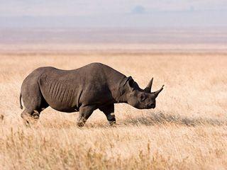 La Unión Internacional para la Conservación de la Naturaleza (IUCN, por sus siglas en inglés) declaró oficialmente extinto al rinoceronte negro de África Occidental; además, expertos en la materia señalaron que en Mozambique han desaparecido todas las especies de rinocerontes debido a la caza furtiva.