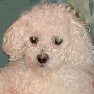 Muki 2004 - Bichon Bolognese / Boloňský psík