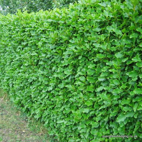 Griselinia littoralis Hedge