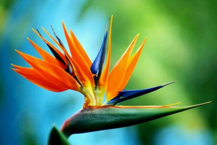 Beautiful birds of paradise flower