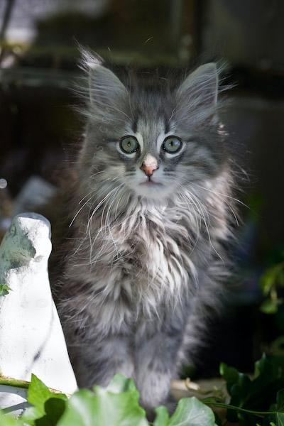 Les 25 meilleures id es concernant chats poils longs sur - Enlever les puces sur un chaton ...