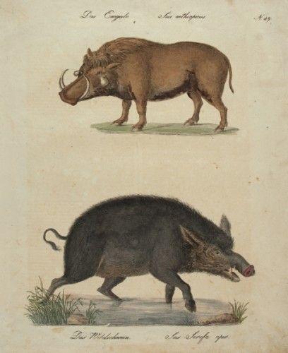 BRODTMANN, Carl Joseph. Das Emgalo, Das Wildschwein. [The Emgalo, The Boar]  Original hand-coloured lithograph for the Naturhistorische Bilder Gallerie Aus Dem Theirreiche, c.1830.