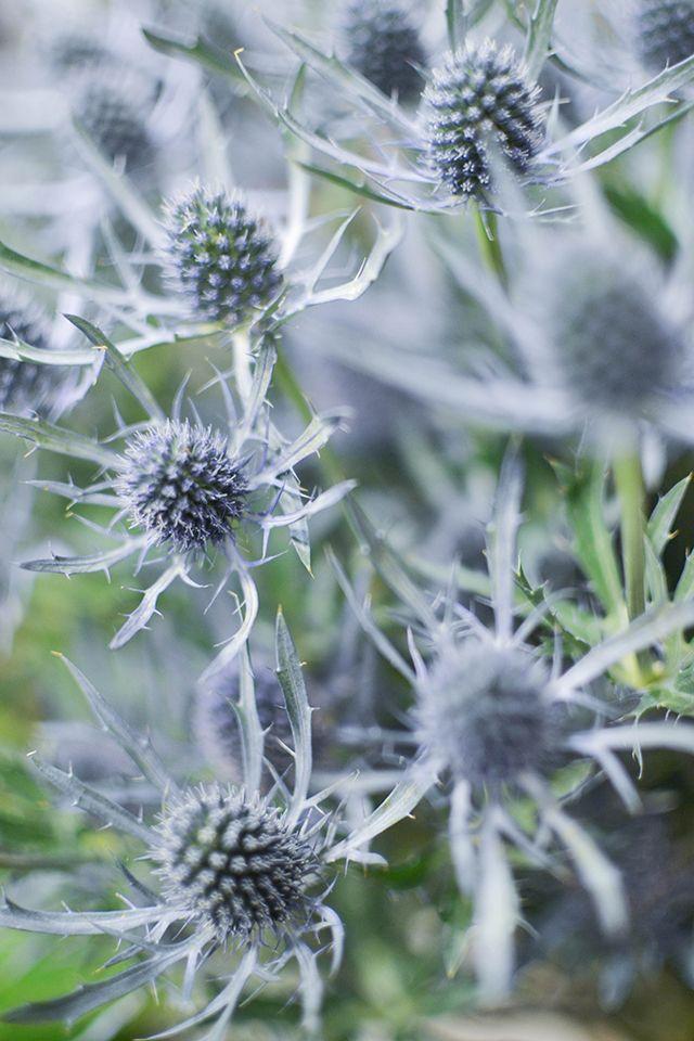 roses blanches chardons bleu wax fleurs bouquet rennes floral french blogger                                                                                                                                                                                 Plus