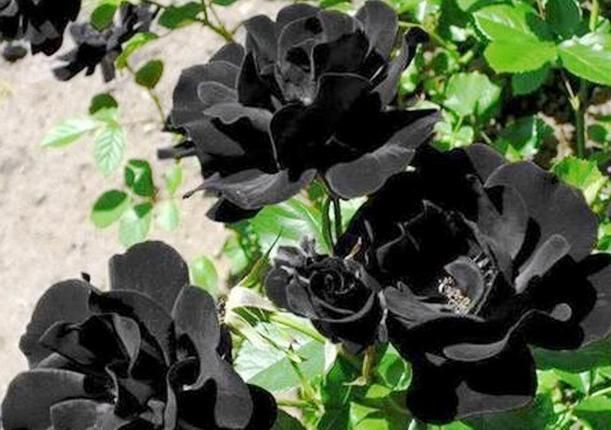 Gambar Bunga Mawar Beserta Bagiannya Bunga Mawar Ciri Ciri Jenis Jenis Mawar Serta Khasiat Dan Gambar Bunga Sepatu Dan Bag Gambar Bunga Tanaman Semak Bunga