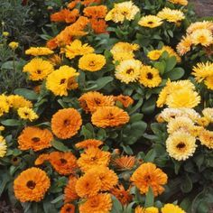 Calendula seeds This wildflower seed produces an annual or short-lived herbaceous perennial that grows from 16 - 24 inches tall. Calendula flowers are daisy-like and come in colors of orange or yellow with single or