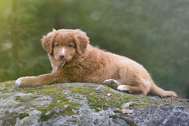 #hund #dog #nature #countryside #toller #fotograf #dog #dogs  #instadog #dogstagram #ilovemydog #doglover #dogoftheday #hundefotograf #brumunddal #ringsaker #hamar