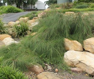FREE FALL™ Casuarina is ideal as a tough ground cover plant for slopes and over rocks