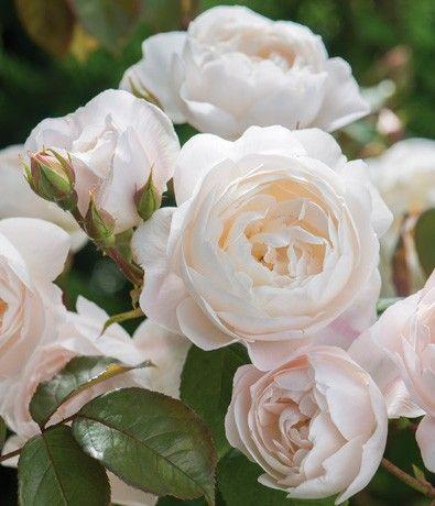 Englischen Rosen, Rosenneuheiten bei David Austin Roses