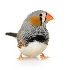 Zebravink (Taeniopygia guttata): In Nederland en België is de zebravink, na de grasparkiet en de kanarie, de populairste vogel om thuis te houden.