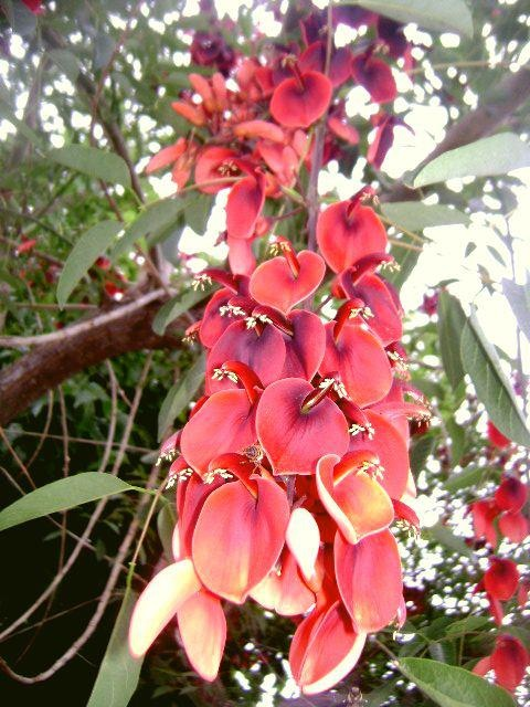 Ceibo. Flor nacional argentina.