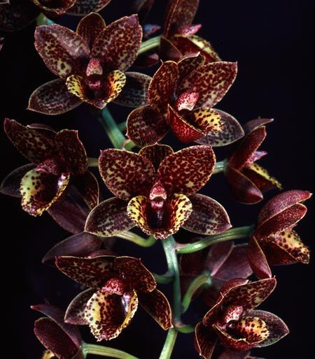 Fdk. After Dark 'Sunset Valley Orchids' FCC/AOS  Sunset Valley Orchids