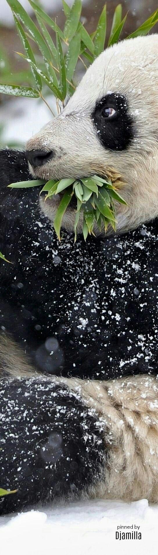Happy Bamboo Eating Panda Bear!