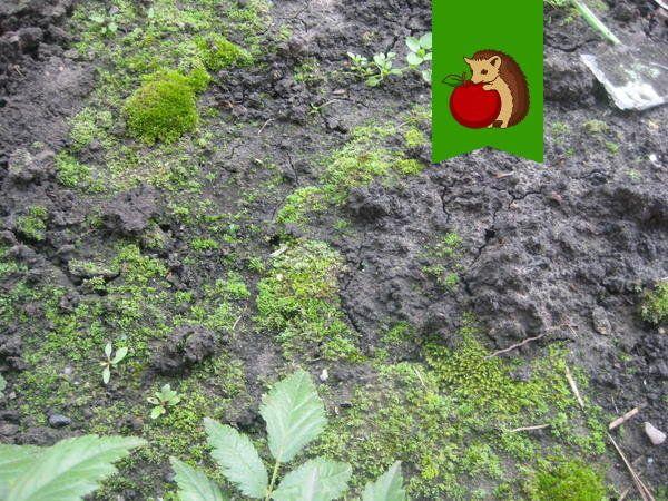 мох на грядках что делать