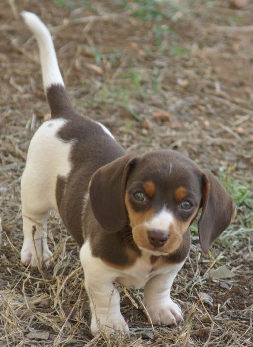 I've always loved red smooth coated Doxies but this little beauty has stolen my heart...