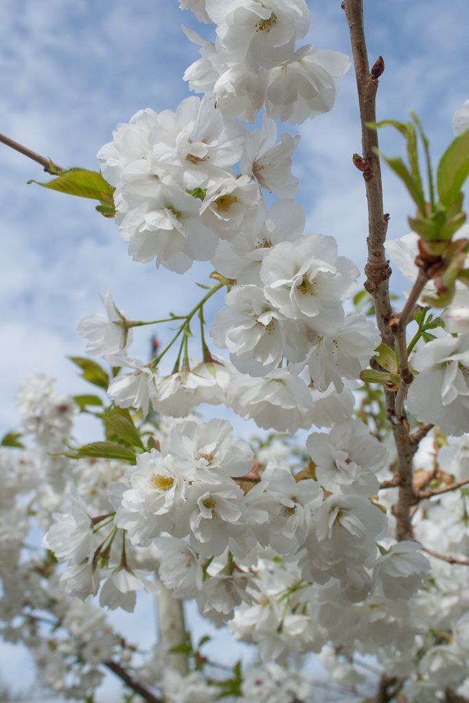 Prunus serrulata 'Shirotae' : superbe floraison de printemps !
