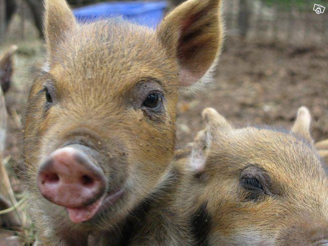 Linderöd/vildsvin griskultingar gyltor.